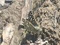 Pyrgus malvae - Grizzled skipper - Толстоголовка малая мальвовая (39193258740).jpg