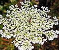 Queen Anne's Lace and Red Ant.jpg
