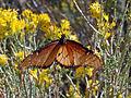Queen butterfly (Danaus gilippus) (14209056566).jpg