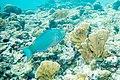 Queen parrotfish Scarus vetula (2414053979).jpg