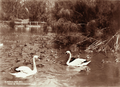 Queensland State Archives 2190 Swans in pond at Botanic Gardens Brisbane 1897.png