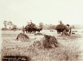 Queensland State Archives 5176 Hay Carting Yangan 1899.png