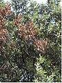 QuercusIlexCoraebus.JPG