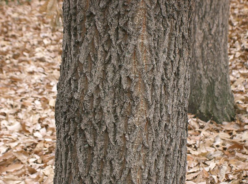 File:Quercus acutissima6.jpg