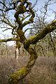 Quercus garryana Cowichan 2.jpg