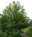 Quercus macranthera ÖBG 2012-05-28 04.jpg