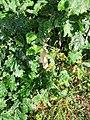 Quercus pubescens, Fagaceae 06.jpg