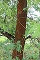 Quercus pyrenaica BotGardBln 20170610 A.jpg