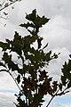 Quercus rubra var. borealis 0zz.jpg