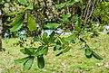 Quercus rugosa in Hackfalls Arboretum (6).jpg