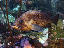 Quillback Rockfish Alaska Sealife Center.JPG