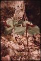 RED TRILLIUM (TRILLIUM ERECTUS), IN THE ADIRONDACK FOREST PRESERVE - NARA - 554578.tif