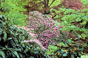 Clapham, North Yorkshire - Rhododendrons planted by Reginald Farrer are still growing in the woods above the village.