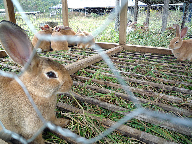 Pastured meat rabbits at Polyface Farm in Virg...