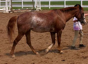 English: Chestnut rabicano pony mare.