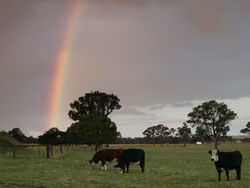 Rainbow over cows.jpg