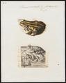 Rana esculenta - 1700-1880 - Print - Iconographia Zoologica - Special Collections University of Amsterdam - UBA01 IZ11500047.tif