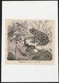 Rana esculenta - 1700-1880 - Print - Iconographia Zoologica - Special Collections University of Amsterdam - UBA01 IZ11500049.tif