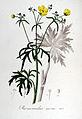 Ranunculus acris — Flora Batava — Volume v6.jpg
