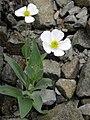 Ranunculus amplexicaulis 3.JPG