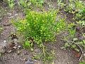 Ranunculus sceleratus Jaskier jadowity 2017-06-16 01.jpg