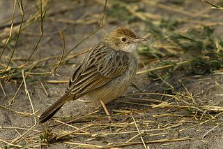 Rattling cisticola Species of bird