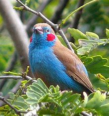 Red-cheeked cordon-bleu cropped.jpg