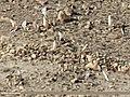 Red-crested Pochard (Netta rufina), Tufted Duck (Aythya fuligula), Common Pochard (Aythya ferina) & Gadwall (Anas strepera) (32450067954).jpg
