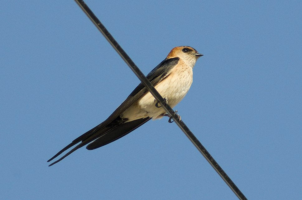 Red-rumped swallow in Calpe, Spain - May 2018 01