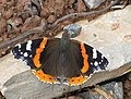 Red Admiral on a stone - geograph.org.uk - 1397659.jpg