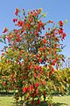 Red Bottle Brush Tree-01+ (246780100).jpg