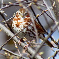 Red Fox Sparrow, Ottawa.jpg