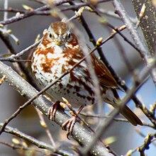 Red fox sparrow - Wikipedia