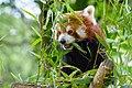 Red Panda (27961417568).jpg