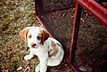 Red and white dog puppy sitting in grass.jpg