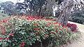 Red flowers 23.jpg