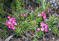 Red heather Phyllodoce beweri.jpg