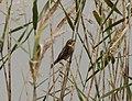 Reed Bunting Emberiza schoeniclus, female (5223394012).jpg