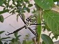 Reflective silver argiope in a stabilimentum-free web in California.jpg