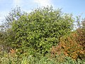 Rhamnus cathartica (8023754185).jpg