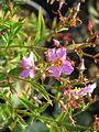 Rhexia virginica (9551643389).jpg
