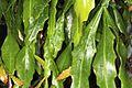 Rhipsalis crispata pm 1.JPG
