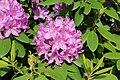 Rhododendron, Québec 01.jpg