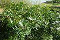 Rhus copallinum kz1.jpg