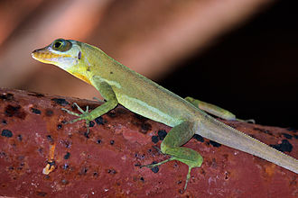 Grenada tree anole - Richard's anole, Tobago