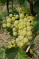 Riesling Grapes.jpg