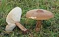 Rillstieliger Weichritterling Melanoleuca grammopus.JPG