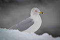Ring-billed Gull (Larus delawarensis) (16410695007).jpg