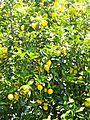Riomaggiore 436-lemons.jpg