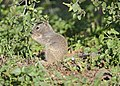 Rock Squirrel juvenile 04.jpg